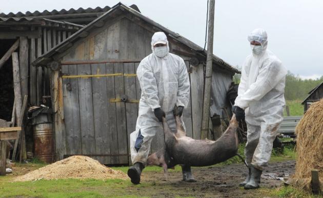 По России распространяется свиной грипп