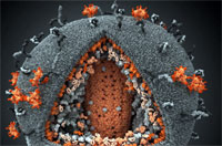 Разработана методика раскодирования латентного вируса СПИДа, скрытого в клетках