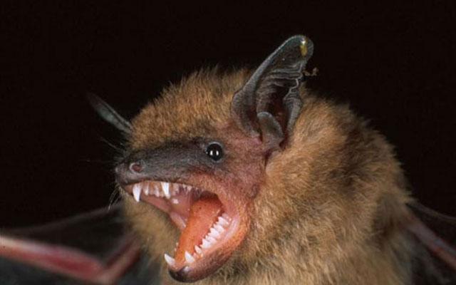 Летучие мыши распространяют опасный вирус: уже есть жертвы