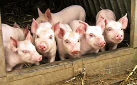 Африканская чума свиней выкосила почти всё поголовье в восточных районах Тверской области