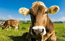 От ВИЧ защитит коровье молоко