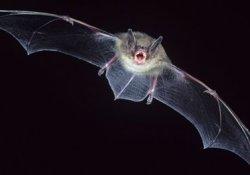 Источником нового вируса атипичной пневмонии могут быть летучие мыши