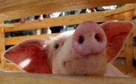 В Крым пришел «свиной грипп»