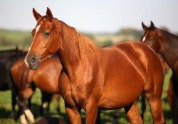Вирус гепатита С «подарили» человечеству лошади?