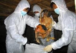 Новые смерти от птичьего гриппа зарегистрированы на его «родине»