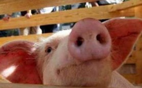 70% больных гриппом европейцев заражены «свиным» вирусом