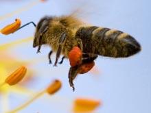 Вирусологи использовали пчелиный яд в борьбе против ВИЧ