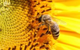 Пчелиный яд уничтожает вирус СПИД