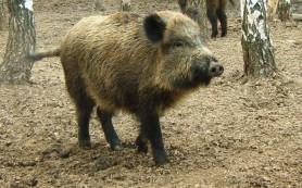 Вирус классической чумы обнаружен у диких кабанов в Приамурье