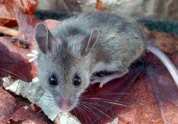 Открытие новых «мышиных» вирусов поможет в создании вакцины против гепатита С