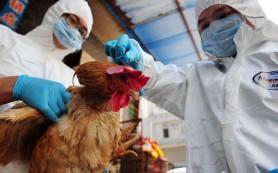 Продолжается поиск источника нового птичьего гриппа