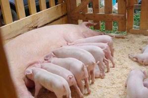 Геннадий Онищенко считает грузинских свиней диверсантами