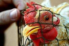 «Птичий грипп» менее опасен, чем представлялся, — ученые