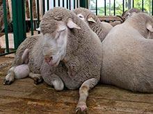 В Подмосковье у овец зафиксирована вспышка опасной для человека инфекции