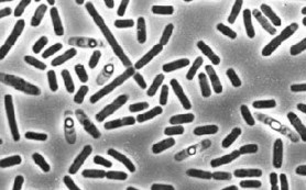 Сибирские ученые обнаружили новую бактерию