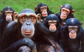 СПИД, оказывается, существовал еще у обезьян — ученые