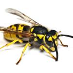 Бактерии в усиках осы производят коктейль из антибиотиков