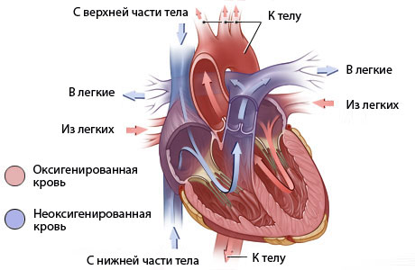 Врожденные пороки сердца у детей и взрослых