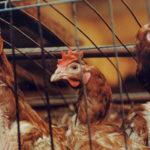 Птичий грипп может появиться в Центральной Азии, предупреждает ФАО