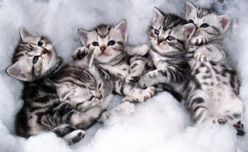 Что нужно знать при выборе котёнка
