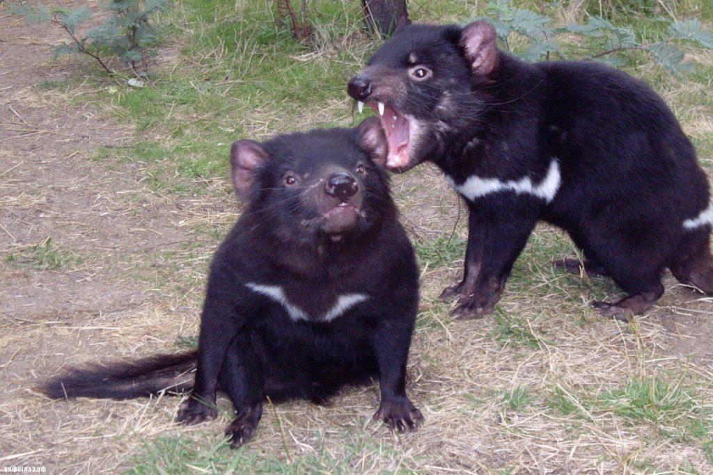 Тасманийский дьявол скрывает в себе ключ к избавлению от супербактерий