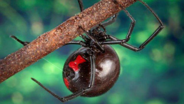 Обнаружен вирус, несущий ДНК токсина паука черная вдова