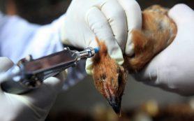 Птичий грипп летит из Азии
