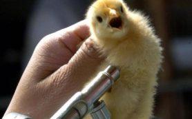 В Красноармейском районе зафиксирован птичий грипп