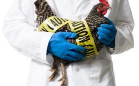 Птичий грипп может передаваться от кошек к людям