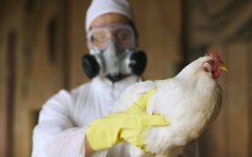 Птичий грипп за 4 дня убил более 11 тысяч куриц под Сергиевым Посадом