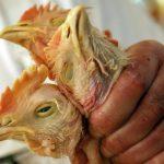 В Подмосковье могут ввести карантин: птичий грипп