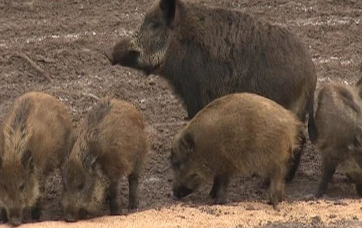 В Литве обнаружены птичий грипп и африканская чума свиней