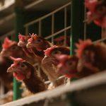 Новый очаг гриппа птиц найден в Московской области — Россельхознадзор