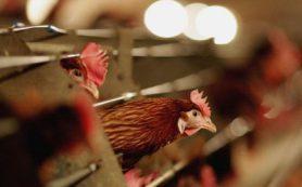 Птичий грипп найден у кур в Ростовской области