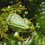 Лягушки помогут вылечить грипп