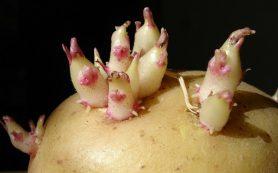 Гепатит будут лечить картофелем