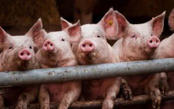 Модификация генома свиней может сделать животных источником органов для людей