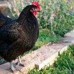 Британские ученые советуют готовить курицу немытой