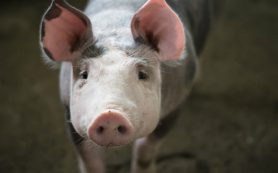Число свиней на Кубани за десять лет сократилось на 70%
