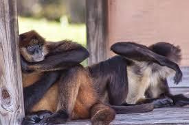 Флоридские обезьяны выделяют редкий вирус, который может убить людей