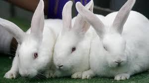 В Новой Зеландии выпустят в дикую природу новый штамм вируса для борьбы с кроликами