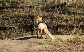 В Красноярском крае зафиксирована вспышка бешенства диких лис