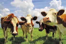В Южной Осетии выявлен нодулярный дерматит крупного рогатого скота