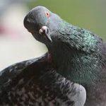 Прекратите кормить голубей! Чем опасен контакт с птицами