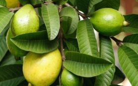 Чем листья гуавы и листья карри полезны для ваших волос?
