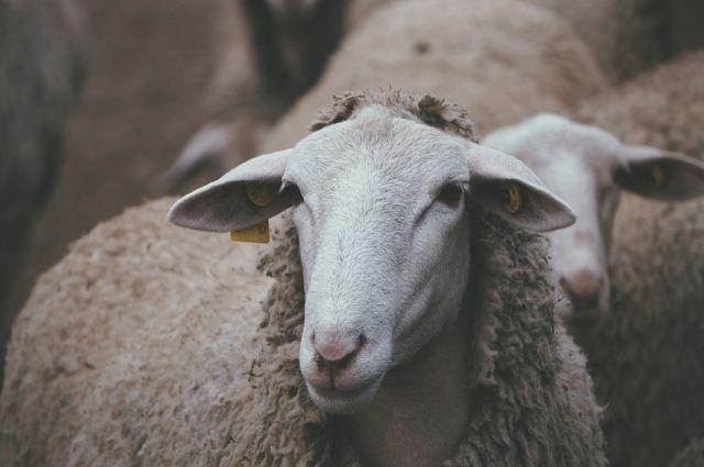 Опасный вирус выявлен у овец в одном из хозяйств Тверской области
