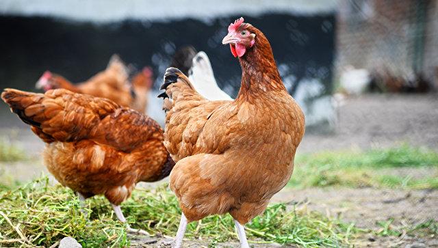 В Нижегородской области зафиксировали вспышку птичьего гриппа