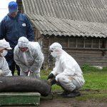 Ликвидация свиноводства или массовая эпидемия: кто управляет вирусом АЧС в Прибалтике