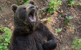 Карантин в Кузбассе ввели из‐за больного медведя