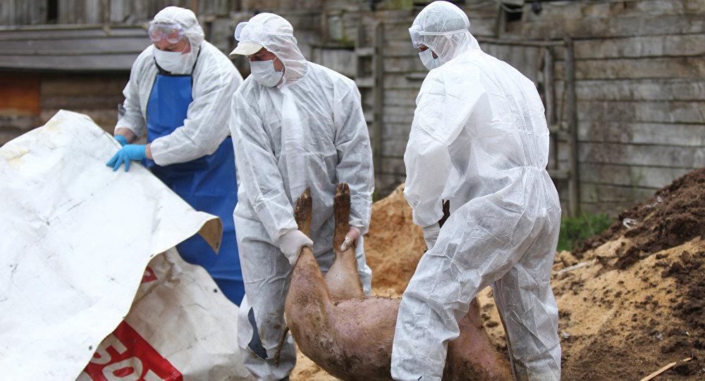 Смертельный вирус — в Молдове уничтожают домашний скот